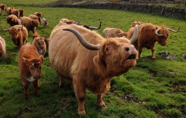 Highland cows on the Haute Coo Tour