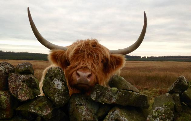 Highland cow on the Cream Tea Coo Tour