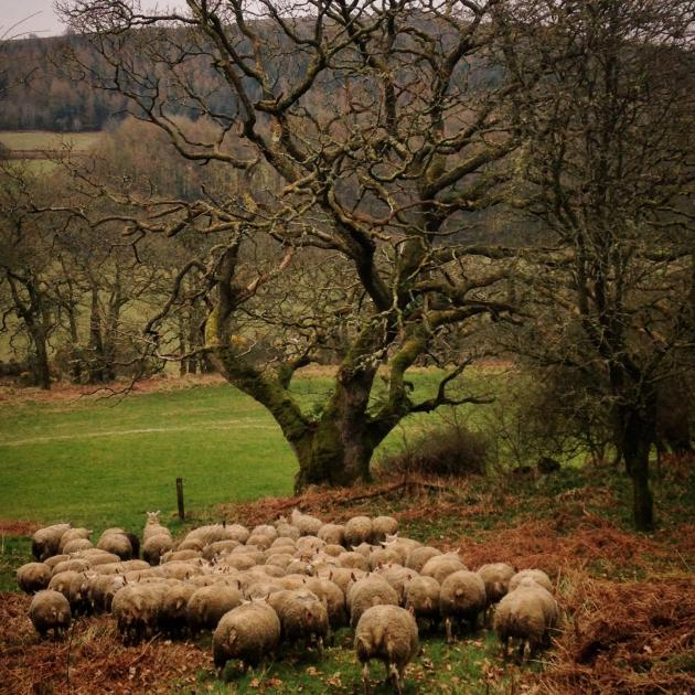Flock of Beltex sheep