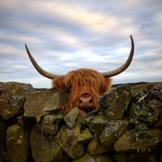 Highland cow peaking over wall